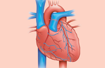 heart%20diagram_image1178onphotolib_article