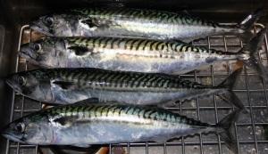 Mackerel Haul